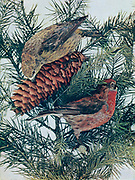 The red crossbill (Loxia curvirostra) is a small passerine bird in the finch family Fringillidae, also known as the common crossbill in Eurosiberia. Crossbills have distinctive mandibles, crossed at the tips, which enable them to extract seeds from conifer cones and other fruits. Adults are often brightly coloured, with red or orange males and green or yellow females, but there is wide variation in colour, beak size and shape, and call types, leading to different classifications of variants, some of which have been named as subspecies. From Birds : illustrated by color photography : a monthly serial. Knowledge of Bird-life Vol 1 No 4 April 1897