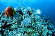 golden batfish or golden spadefish, Platax boersii, some in dark color phase (can change in seconds), Sipadan Island, off Borneo, Sabah, Malaysia ( Celebes Sea / Western Pacific Ocean )