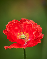 Red, Pink, and Oriental Poppies. Image taken with a Leica CL camera and 90-280 mm lens.