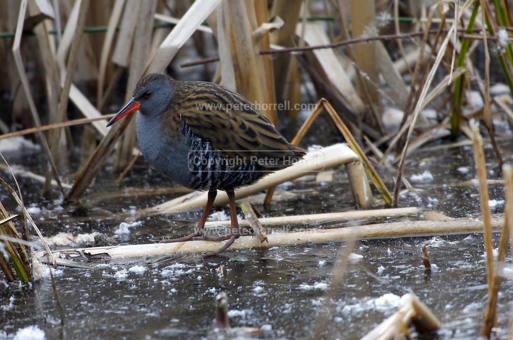 Doncaster - Tuesday, Feb 19 2008: A Water Rail (Rallus aquaticus) at Potteric Carr Nature Reserve.  (Photo by Peter Horrell / http://www.peterhorrell.com)