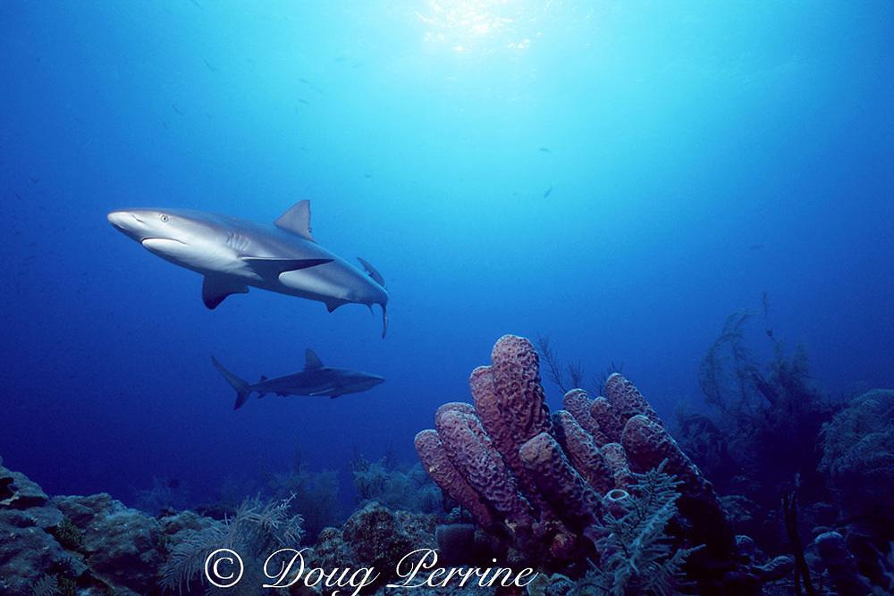 Caribbean reef sharks, Carcharhinus perezi, swim over purple tube sponges, New Providence, Tongue of the Ocean, near Nassau, Bahamas ( Western Atlantic Ocean )