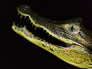 Caimans are predators and, like alligators and the crocodiles, their diet consists of a great deal of fish. The caimans also hunt insects, birds and small mammals and reptiles, El Castillo, Rio San Juan Department, Nicaragua