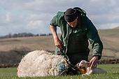 Photo Story: Lambing