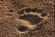 Tracks in the sand of the polar bear  (Ursus maritimus) on frozen tundra on the Hudson Bay Coast<br />Cuurchill<br />Manitoba<br />Canada