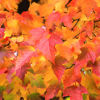 """""""Those Autumn Leaves"""" 2<br /> <br /> Beautiful maple leaves on a tree branch in all hues of red, yellow, orange and green!!<br /> <br /> Fall Foliage by Rachel Cohen"""