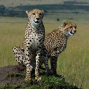 Cheetah (Acinonyx jubatus) Mother with young cub on termite hill searching for prey. Masai Mara National Park. Kenya. Africa.