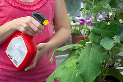 Spraying aubergine which has been attacked by whitefly