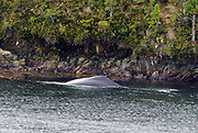 A humpback whale (Megaptera novaeangliae) feeding in shallow water at the edge of the Strait of Magellan. Humpback whales are said to be able to feed close to the shore because, unlike most other whales, they can swim backwards. The rocky shorline lined with Southern Beech (Nothofagus species) trees is in the background. Francisco Coloane Marine Park, Strait of Magellan, Republic of Chile 21Feb13