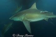bull shark or Zambezi shark ( Carcharhinus leucas ) ) feeds on a bait ball of sardines or pilchards ( Sardinops sagax ) during the annual Sardine Run off the east coast of South Africa at Mboyti, Transkei or Wild Coast ( Indian Ocean )