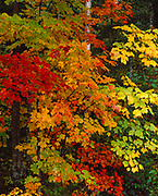 Autumn colors of Sugar Maples, Acer saccharum (red-orange) and Striped Maple, Acer pensylvanicum (yellow-green), northern hardwood forest along the Chippewa River, Ontario, Canada.