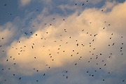 Hundreds of American crows (Corvus brachyrhynchos) in a large flock known as a murder fill the cloudy sky over Bothell, Washington. An estimated 10,000 crows roost in the area each night.