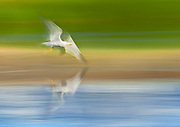 California Gull in Flight over Water, Mono Basin National Forest Scenic Area, California