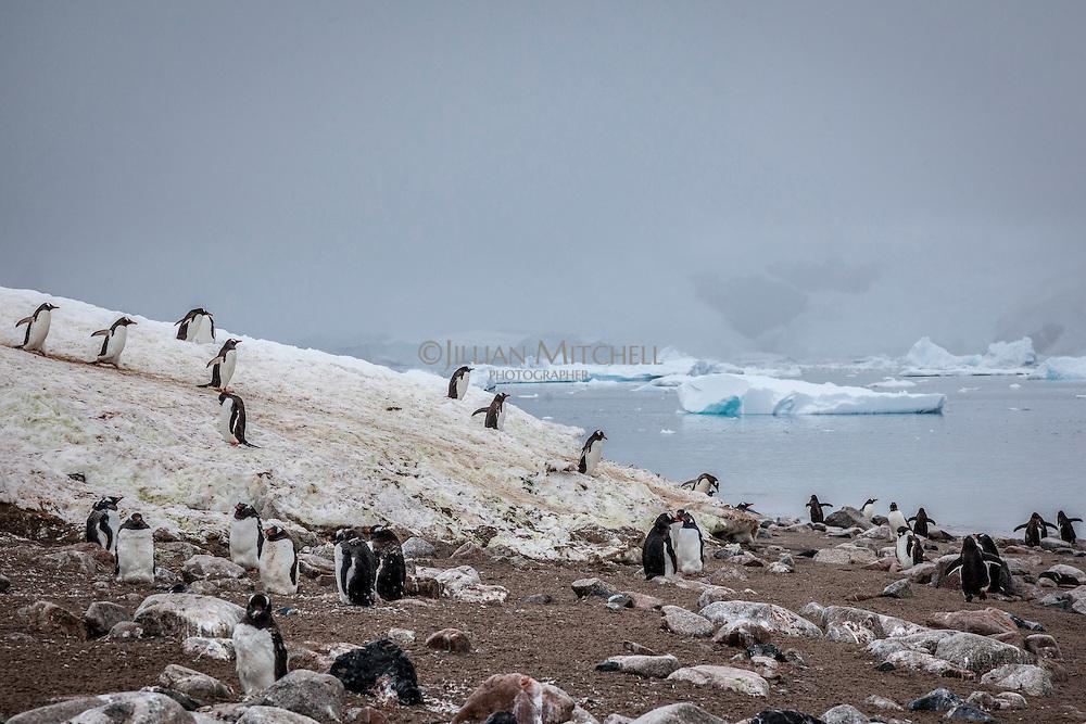Penguins at Andvord Bay, Neko Harbour, Antarctica.