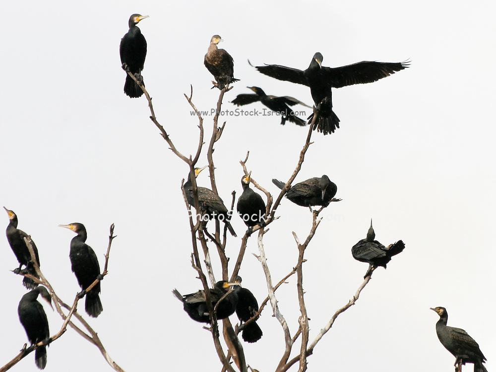 Israel, a flock of Pygmy Cormorants (Phalacrocorax pygmaeus) on a tree
