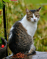 Neighborhood Cat under the Birdfeeder. Image taken with a Fuji X-T2 camera and 200 mm f/2 lens + 1.4x teleconverter