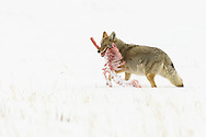 wild Coyote carrying a carcass through the snow in Yellowstone
