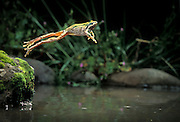 A pacific chorus frog (Pseudacris regilla) jumping into water. Near the Oregon Coast,