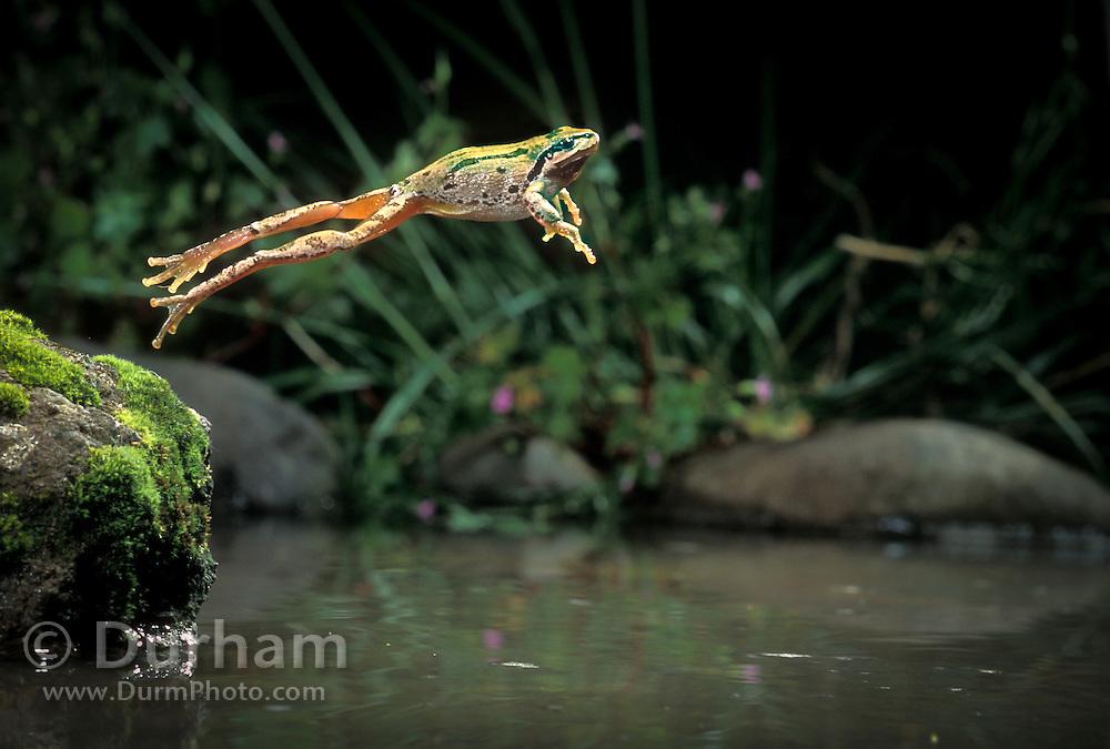 A pacific chorus frog (Pseudacris regilla) jumping into water. Near the Oregon Coast,