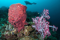 A Diver hovers over Soft Corals and Barrel Sponge<br /> Shot in Indonesia