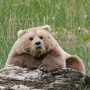 Alaskan Brown Bear resting on driftwood during the summer in Alaska.