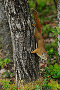 Red Squirrel climbs a tree in Denali National Park