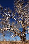 A sycamore tree stands near Sonoita, Arizona, USA.