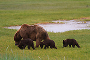 A Brown or Grizzly Bear sow with spring cubs, Lake Clark National Park, Alaska.
