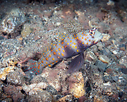 Spotted shrimpgoby (Amblyeleotris guttata), the Spotted prawn-goby is a species of goby native to reefs of the Western Pacific Ocean