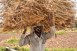 April 29, 2019 - Punjab, Punjab, India - An Indian farmer seen carrying a bushel of wheat during the harvesting in Punjab..Harvesting of wheat has begun in India, one of the world's largest producers of the crop. Agriculture is the main livelihood of about 60 percent of India's 1.2 billion people. (Credit Image: © Saqib Majeed/SOPA Images via ZUMA Wire)