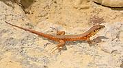 A Maltese lizard (Podarcis filfolensis) basking on rocks in a rocky coastal habitat in St Paul's Bay Malta in summer