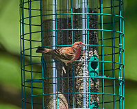House Finch. Image taken with a Nikon D800 camera and 600 mm f/4 VR lens.