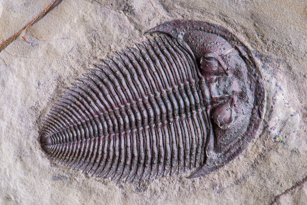 Altiocculus drumensis (sagittal length: 34mm), formerly known as Alokistocare harrisi, is one of the most sought after and rare species from the Marjum Formation of the Drum Mountains of Utah.