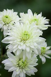 Chrysanthemum Baltica Lime
