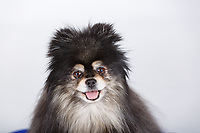 Pet portraits for use on the company website and marketing to prove the family nature of the business.<br /> <br /> ©2017, Sean Phillips<br /> http://www.RiverwoodPhotography.com