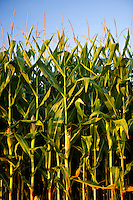 Corn grown for feed and fuel in Arkansas