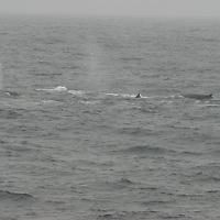 Antarctica. Penguins on Aitcho Island, South Shetland Islands.