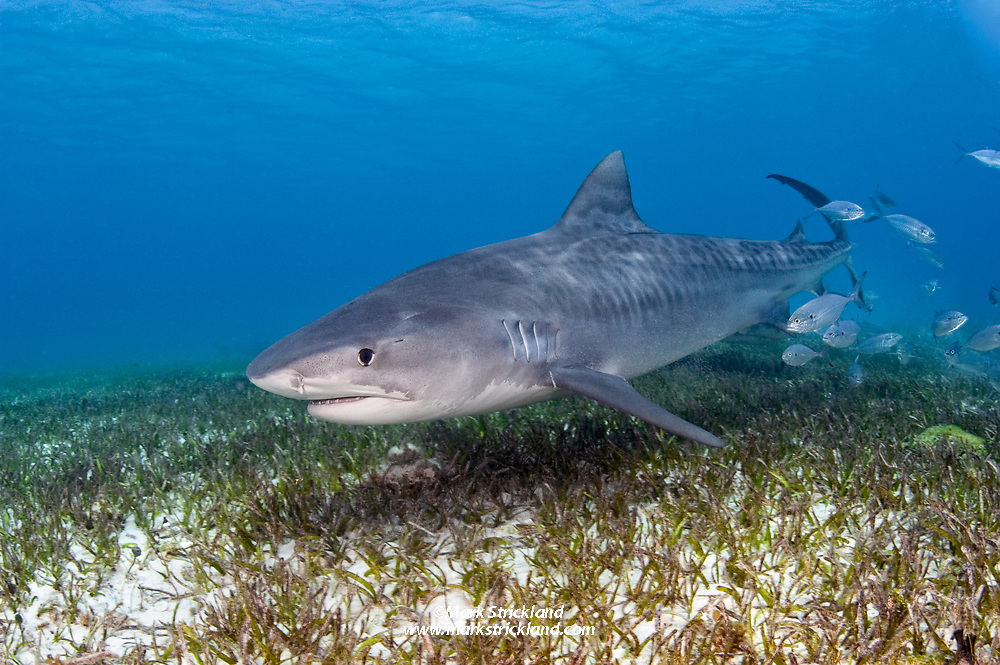 A Tiger Shark, Galeocerdo cuvier, cruises over a seagrass bed, accompanied by a school of blue runners. Tiger Beach, Little Bahama Bank, Bahamas, Atlantic Ocean