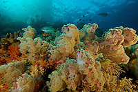 A forest of soft corals in the shallows of a rocky islet.  Jacks hunting smaller fish...Misool Island vicinity.  Near smaller island of Fiabacet.
