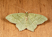 Close-up of a Little emerald moth (Jodis lactearia) resting on a wooden panel in a Norfolk garden in summer