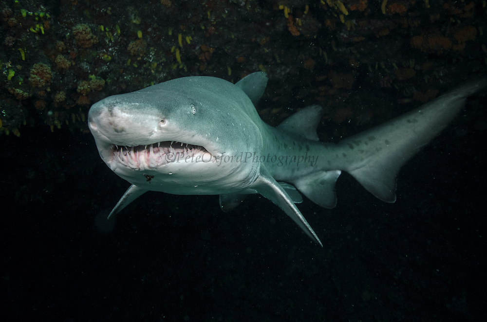 Ragged tooth shark (Sand tiger) (Carcharias taurus)<br /> Aliwal shoal<br /> Umkomaas<br /> KwaZulu Natal<br /> SOUTH AFRICA<br /> Range: North America, Japan, Australia, South Africa