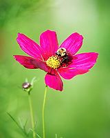 Bumble Bee on a Cosmos Flower. Image taken with a Nikon Df camera and 300 mm f/4 lens