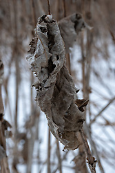 Dried prairie foliage in winter in a restoration area near Lake Nokomis