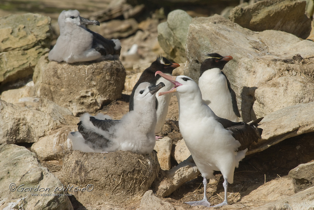 A Black Browed Albatross feeds its chick in a rookery on New Island in Britain's Falkland Islands. Behind them are two Rockhopper Penguins.