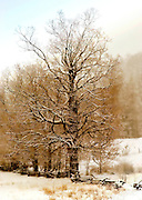 Ancient Sugar Maple in Winter