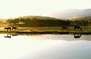 MEXICO, CENTRAL, GUANAJUATO STATE Horses grazing near San Miguel de Allende