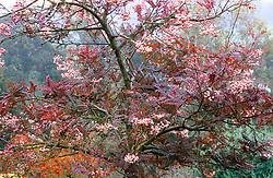 Sorbus vilmorinii at The Dingle, Powis