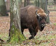 Białowieża. Rezerwat Pokazowy Żubrów