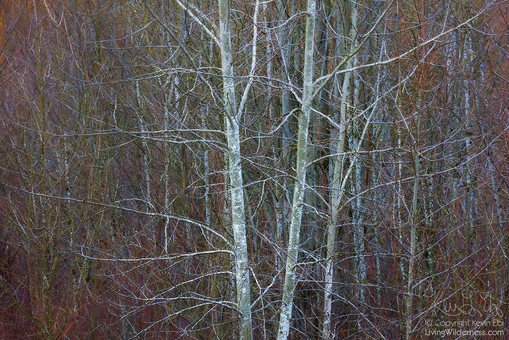 Bare alder trees stand against a backdrop of trees and brush that are beginning to show spring colors in late winter in wetlands in Bothell, Washington.