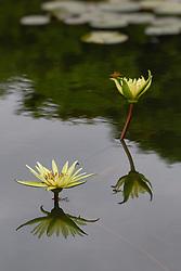 Water Lily, yellow, #6,vert.