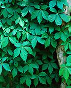 Viginia Creeper, Partheonocissu quinquefolia, Washington, Mississippi.